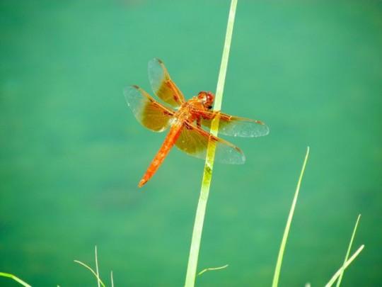 Jewel Like Dragonfly