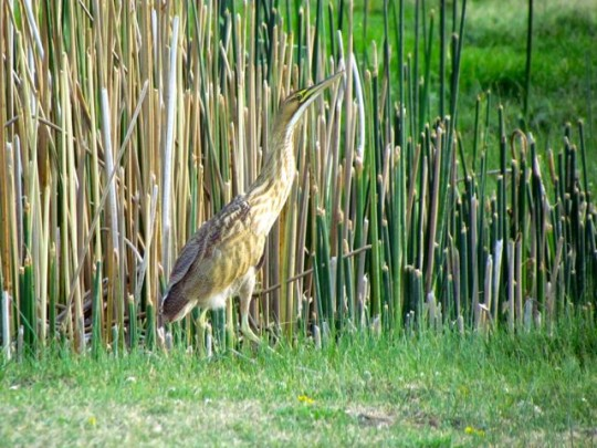 Close Encounter With A Bittern