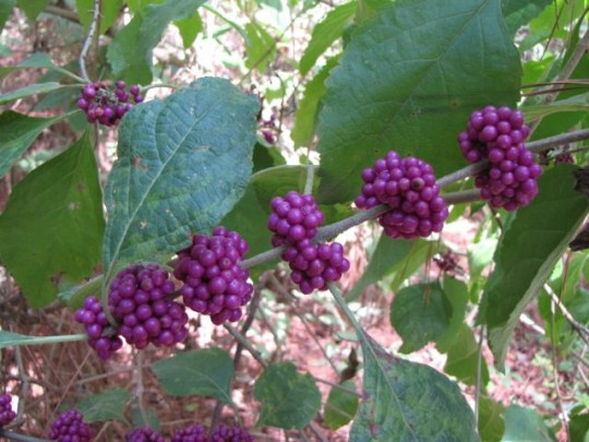 Beautyberry Everywhere