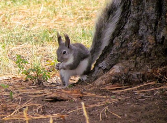 Crazy Abert's Squirrels