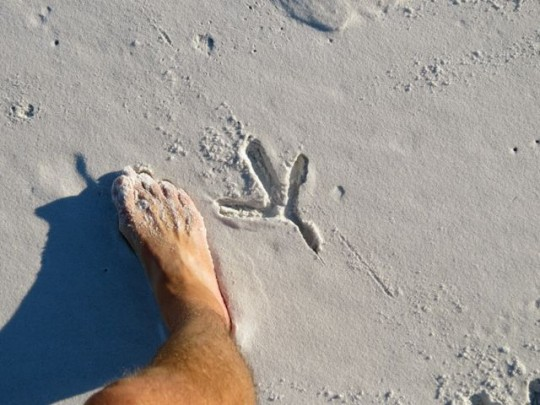 Great Blue Heron Footprint Grayton Beach