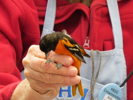 Baltimore Oriole Trying To Pry Bob's Fingers Apart