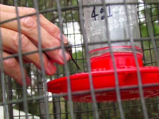 Giving Hummingbird A Drink