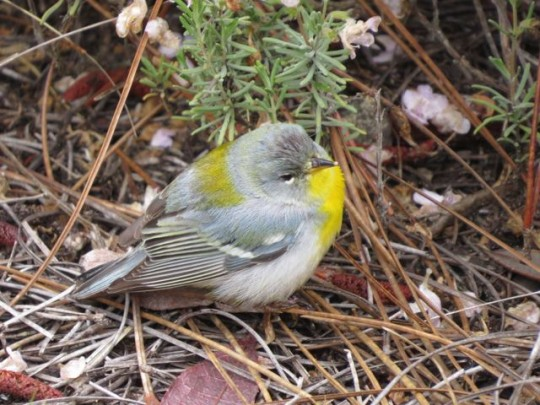 Exhausted Northern Parula