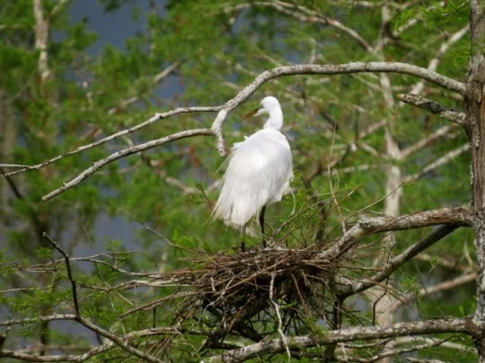 Great Egret On The Nest