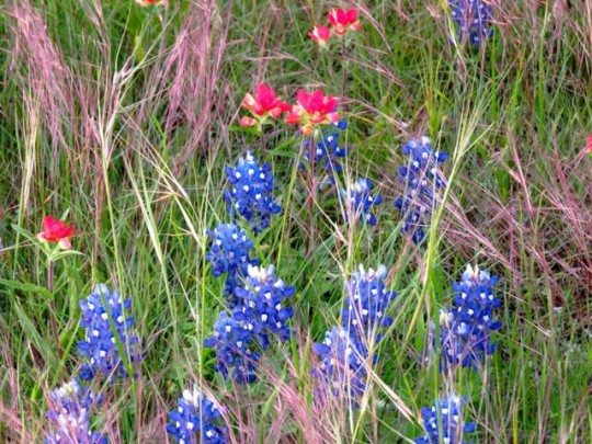 Bluebonnets, Paintbrush, And Native Grasses