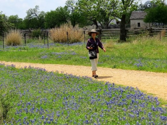Bluebonnets In Johnson City