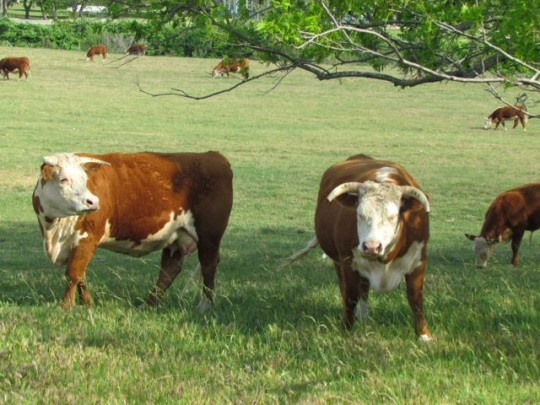 LBJ's Herefords