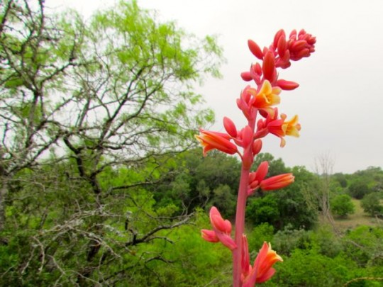 Red Yucca Flower Stalk