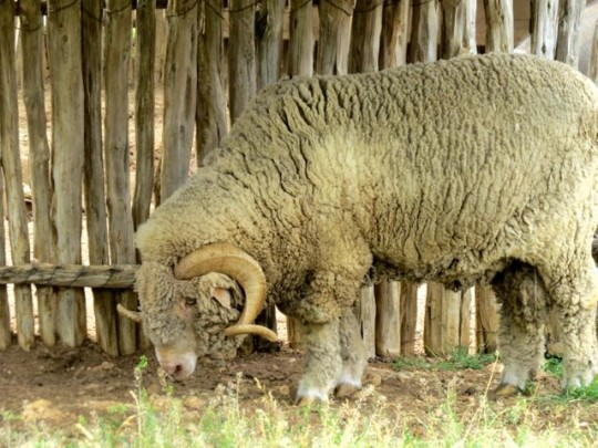 An Enormous Ram