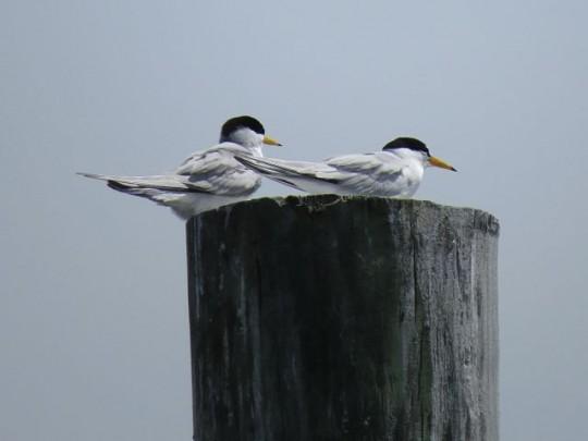 Terns Resting