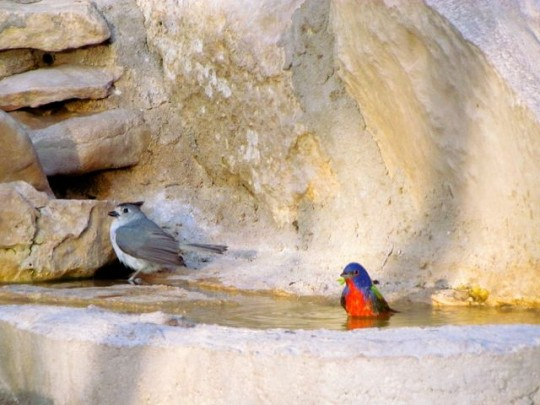 Black Capped Titmouse And Painted Bunting Bathing