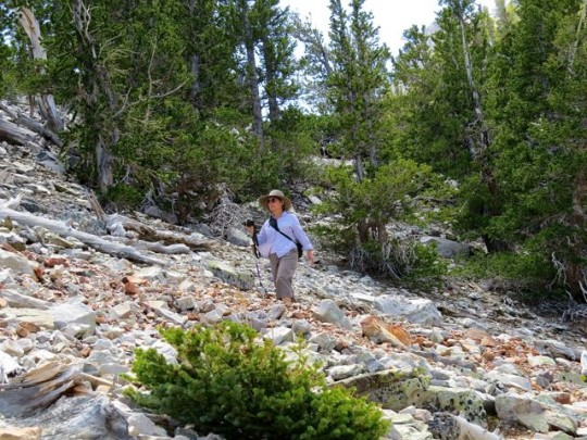 Rocky Bristlecone Pine Trail