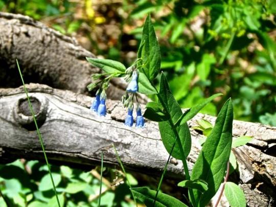Mountain Bluebells