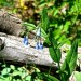 Mountain Bluebells  thumbnail