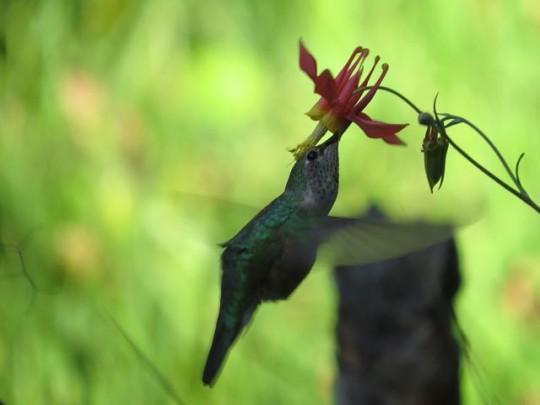 Hummingbird Drinking From Columbine