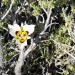 Mariposa Lily Peeking Through Sagebrush  thumbnail