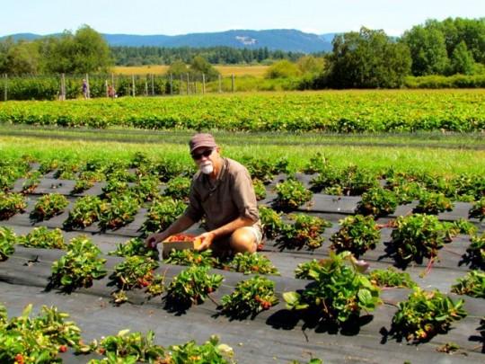 Picking Organic Strawberries