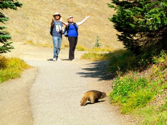 Marmots On The Trail