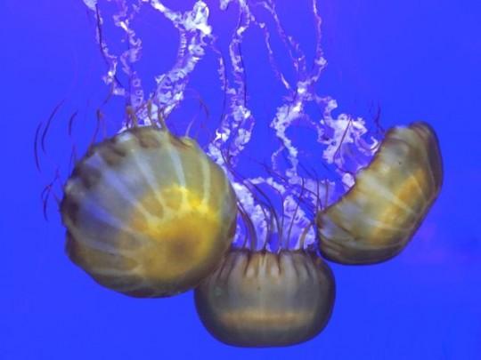 Dancing Sea Nettles