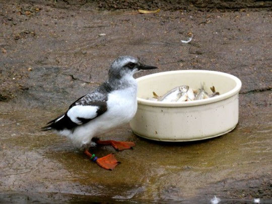 Breakfast For A Pigeon Guillemot