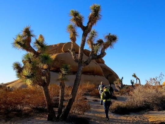 Hiking Among Joshua Trees