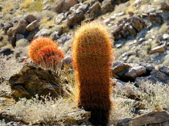 Colorful Barrel Cacti