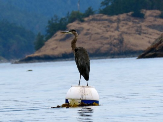 A Perfect Perch For A Great Blue Heron