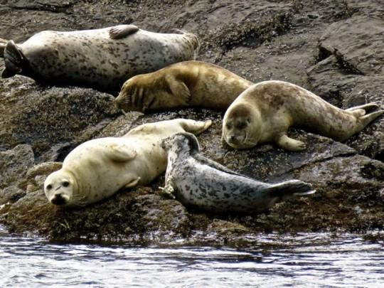 Herds Of Seals At Shark Reef