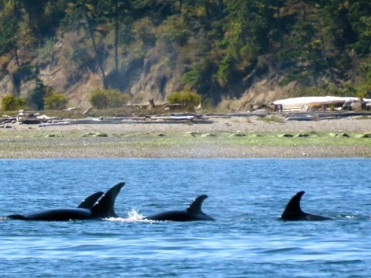 Orcas Traveling Along Spencer Spit