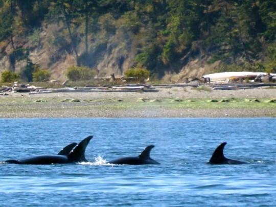 Orcas Traveling Along Spencer Spit