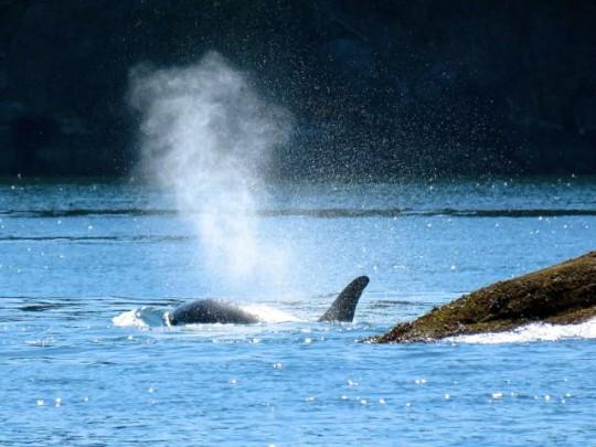 An Orca Spout