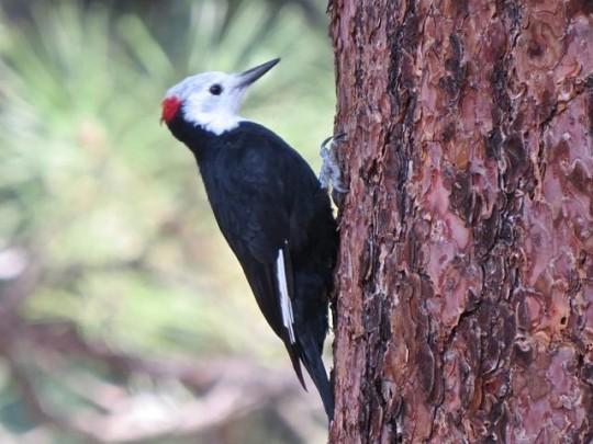 White Headed Woodpecker Hanging Around Camp