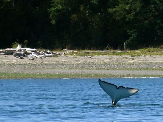 An Orca's Fluke