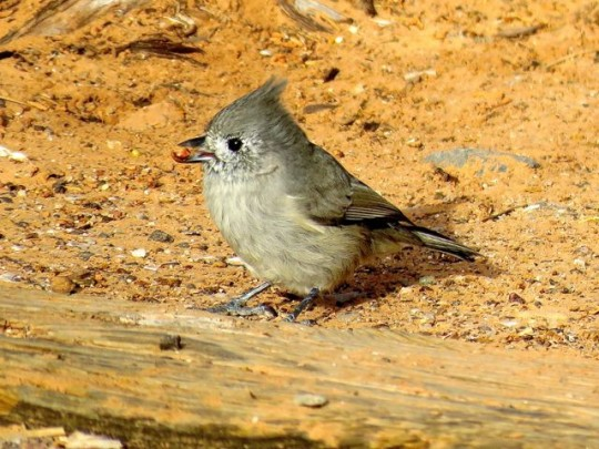 Juniper Titmouse In Our Campsite