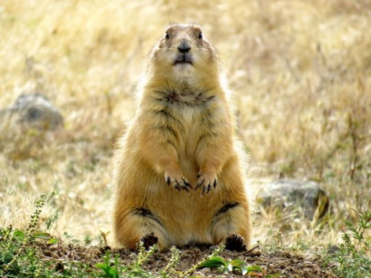 Prairie Dogs Have Made A Comeback