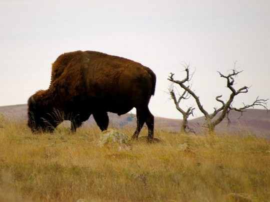 Our Lone Bison Sighting
