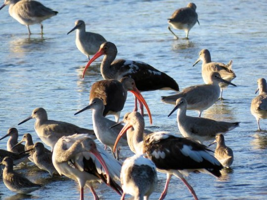 Ibis, Willets, And Dowitchers