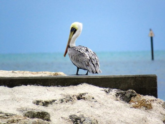 Brown Pelican Surveying The Ocean