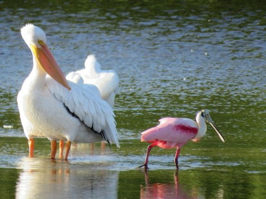 White Pelicans And Roseate Spoonbill