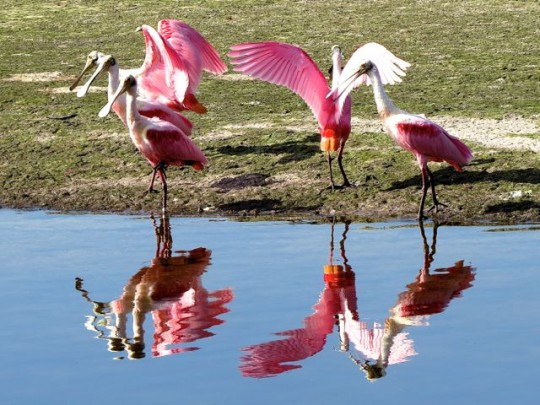 Spoonbill Reflections