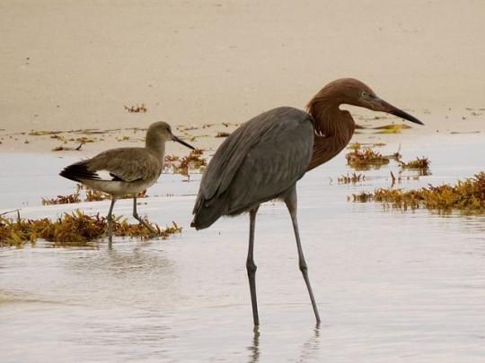 Fishing Buddies: Willet & Reddish Egret