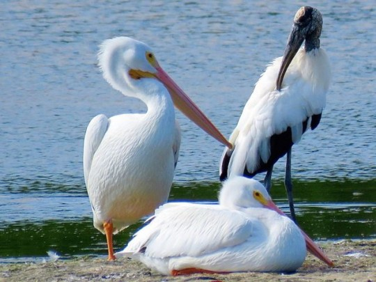 White Pelicans And Wood Stork