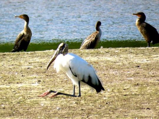 Wood Stork Resting