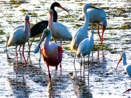 Ibis, Tricolored Heron, Spoonbill, Snowy Egrets