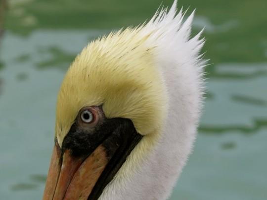 Pelican Mohawk