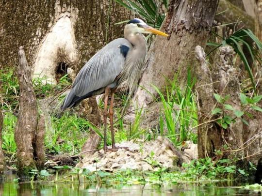 Great Blue Heron In The Cypress Knees