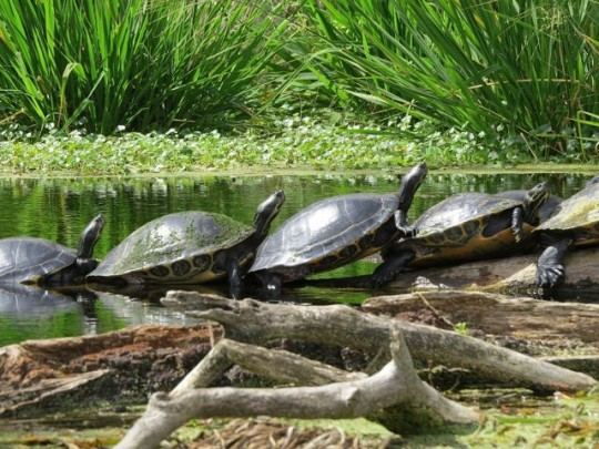 Turtle Conga Line