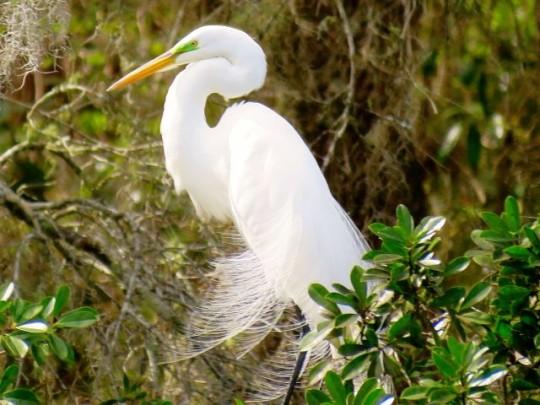 Great Egret In Breeding Plumage Finery