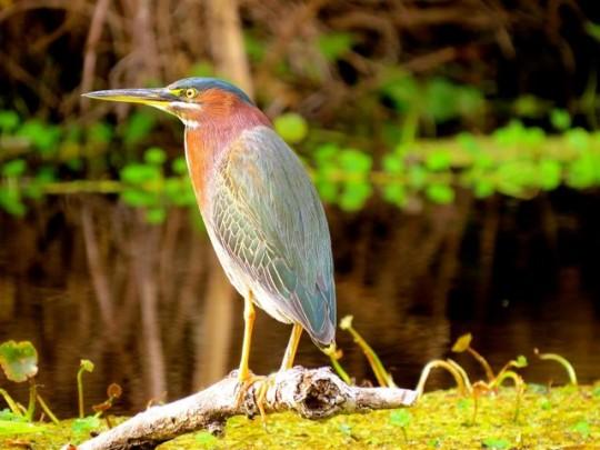 Beautiful Green Heron